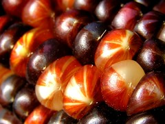 Kernels (mudder_bbc) Tags: autumn fall corn harvest fourseasons macros kernels indiancorn