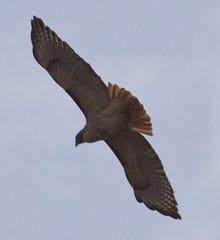 Red-tailed Hawk (orencobirder) Tags: flight hawks largebirds