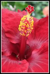 Scarlet Hibiscus (tresed47) Tags: flowers macro home longwoodgardens lowcontrast infocus photoshopelements highquality longwoodgarden petersphotos