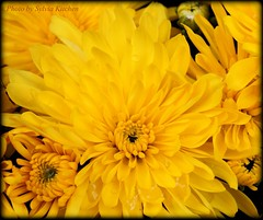 The Gold of Autumn (sylkky2) Tags: flowers macro yellow mums mum chrysanthemum theloveshack flowersarebeautiful natureselegantshots mimamorflowers awesomeblossoms flickrflorescloseupmacros panoramafotografico greatshotss