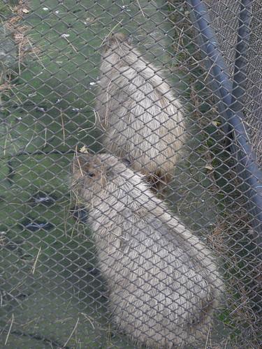 カピバラ/Capybara