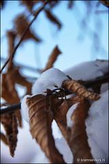 Winter leaf (Bram Reinders(on-off)) Tags: winter holland leaf nederland thenetherlands blad groningen ijs appingedam ijskristallen ijskristal icecristal winterleaf tamron18250mm sonyalpha700 winterblad bramreinders bramreindersappingedam wwwbramreindersnl