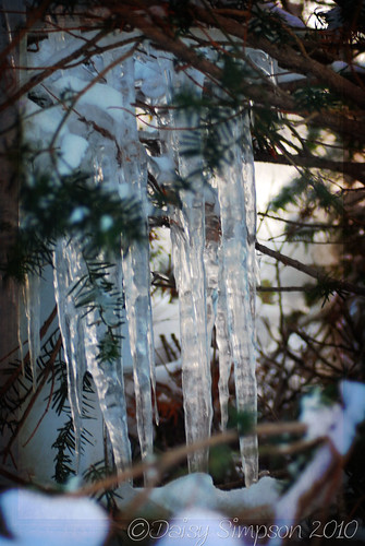145 icicles in tree