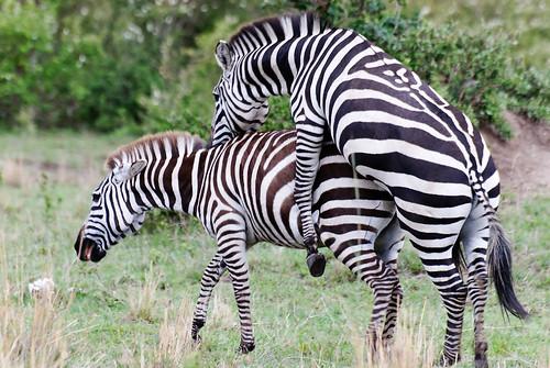 4261620507_e1bd640b8b - Kon ma inlove na ang Zebra - Love Talk