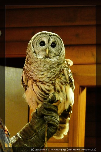 Jesse the Barred Owl (Strix varia)