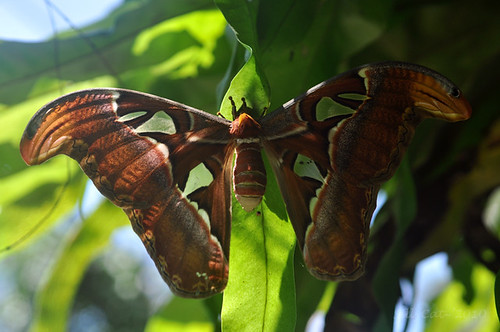 Attacus atlas-male