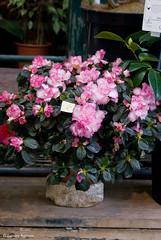 Azalea plant (Flower Market, Paris) (Scrumptious Venus) Tags: travel plant paris france retail azalea flowermarket iledelacite marcheauxfleurs lespritsudmagazine louislepine