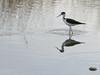Black-necked stilt (kitnboo) Tags: birds 28135mmis canonxti