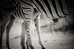 _IGP0990-2 (orang_asli) Tags: africa nature animals southafrica mammal nationalpark champs zebra fields imfolozi lieux afrique mammifère aficionados faune bushveld naturel zèbre afriquedusud savane parcnational géographie zbre mammifre gžographie