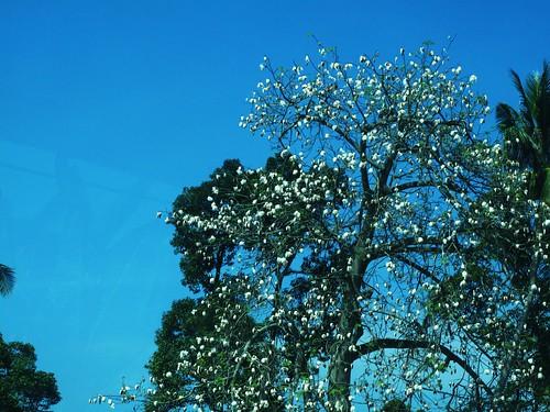 IMG_8407 Cotton Tree