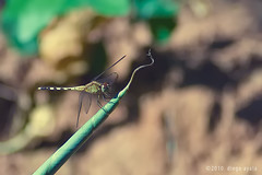 Ñahatî (AshesAndDiamonds) Tags: macro canon bug insect flyer libelula paraguay tamron