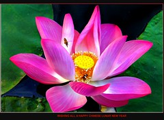 Flower (Kenny Teo (zoompict)) Tags: life pink light flower macro reflection water beautiful canon wonderful lens photo pond photographer waterfront view chinesenewyear best bee lilly bottletree kenny fullerton 2010 pinklily canon500d flyingbee sigma18200mmlens yearoftiger zoompict kennyteo ishunbottletree singaporelowerpiercereservoir