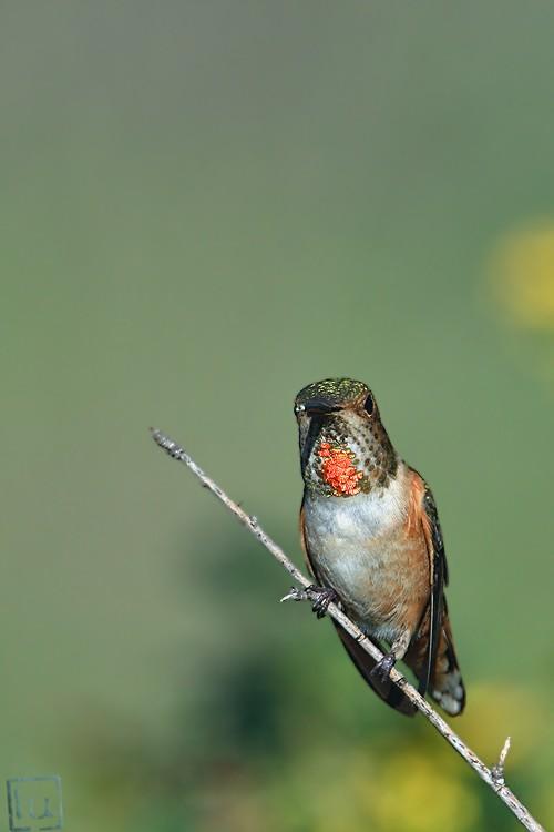 Allen's Hummingbird 02101-117