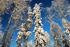 Snow time (unlimited inspirations) Tags: park travel blue trees winter sky white snow ice nature beautiful beauty pine forest finland landscape lights nikon scenery europe flickr colours shadows seasons rovaniemi best arctic colourful pineforest sunlights ranua nikond80 ranuawildlifepark unlimitedinspirations