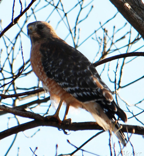 Red Shouldered Hawk III