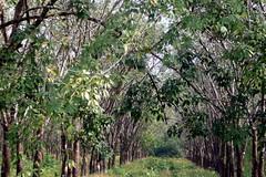 Rubber plantation, Mudon, Myanmar (ArnisD) Tags: burma myanmar mon moulmein mudon mawlamyine mawlmayine