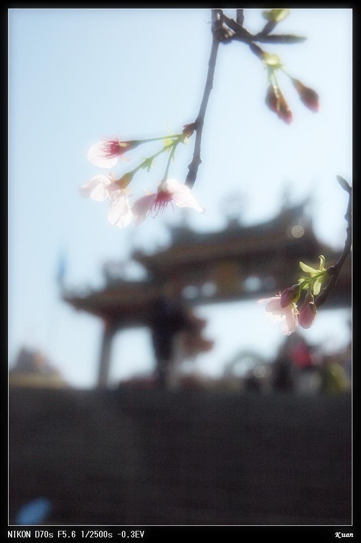 990311天元宮櫻花光影