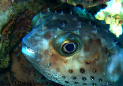 Spike the Burr fish (Niall Deiraniya Underwater Photography) Tags: blue sea fish coral marine redsea diving photograph diver reef