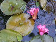 Jardín Botánico La Laguna (FIORECAS) Tags: pond waterlilies
