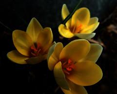 Inner Glow (Clyde Barrett) Tags: red yellow newfoundland spring glow crocus nl nfld clydebarrett