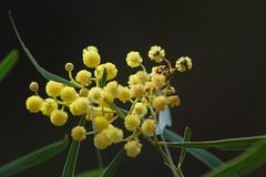 Australia's national flower - the Wattle_Morialta_Adelaide_April 2010_DSC_9346_2_D (renrut01) Tags: flowers yellow native australia southaustralia morialta wattle nationalflower