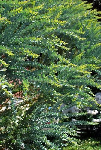 Acacia cultriformis 4