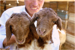 Twin -  (Reza-ir) Tags: animal village iran twin mutton khorasan     khaf