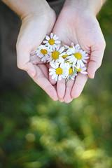 Kamille (pixhuntercom) Tags: closeup person hand finger sommer herbst natur blumen gelb frau blume blte kamille nahaufnahme frhling hnde zeigen weis vonoben halten pflcken heilpflanze heilpflanzen margarethen wei blte frhling hnde pflcken