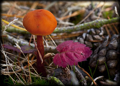 Shades Of Autumn (strussler) Tags: red england orange macro grass pine canon dead eos 50mm leaf sigma surrey fungus 5d toadstool common f28 cones thursley