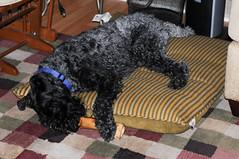 grey dog sleep eating