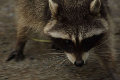 05-05-2008_raccoon_face-to-face_rs