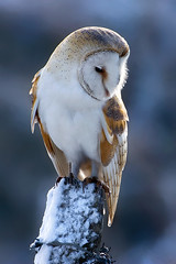 Barn Owl - MG_9336 (nigel pye) Tags: blue portrait snow nature wire post wildlife norfolk posted p barnowl tytoalba backlite plainbackground vosplusbellesphotos thewonderfulworldofbirds