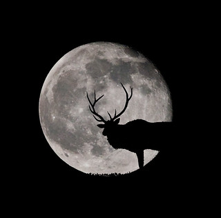 Elk and the moon