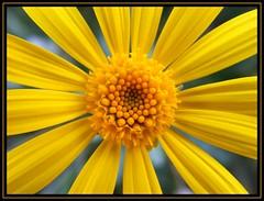 Boom!!!! (Patataasada) Tags: flower macro yellow flor amarillo daisy margarita coseup pétalos naturesfinest coth estambres mywinners platinumheartaward a3b a3bchallenge flickrestrellas platinumpeaceaward