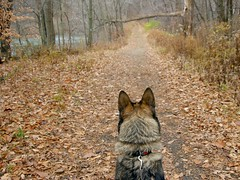 My Trail Guide (Misty DawnS) Tags: ohio nature wolf canine trail wolfdog matouk