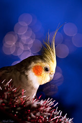 Blushing boy (Kerli'sPhotography) Tags: christmas xmas cute bird colorful parrot cockatiel superaplus aplusphoto estremit natureselegantshots julud2009 christmasparrot