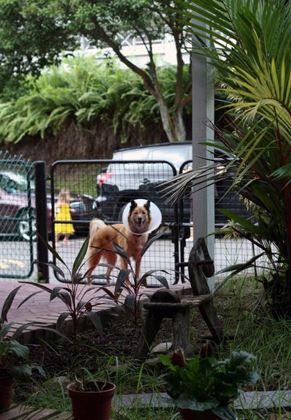 coned dog