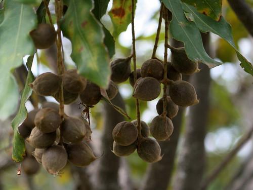 183_9671 nuts Macadamia integrifolia Proteaceae