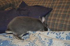 diggy diggy (sensitivebunnyguy) Tags: bunny bunnies netherlanddwarfrabbit cutebunnies santamax cuterabbits cuterabbitphotos cutebunnyphotos nikond5000 lopearrabbits santabunnies santasundae