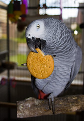 My Boy Magic (lulahbubb) Tags: xmas white black bird feet grey african beak feathers biscuit africangrey perch