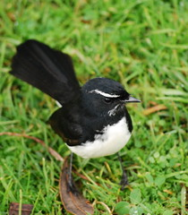 Willy Wagtail (tkmckinn) Tags: birds australia july09
