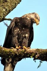 Sub-adult Bald Eagle (Haliaeetus leucocephalus) DSC_0181 (NDomer73) Tags: bird eagle baldeagle january raptor juvenile 2010 ridgefield ridgefieldnationalwildliferefuge ridgefieldnwr 01january2010 byjase