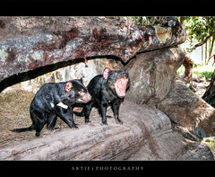 The Tasmanian Devils :: P-HDR (Artie | Photography :: I'm a lazy boy :)) Tags: park nature animal photoshop canon furry cs2 wildlife devils conservation australia wideangle tasmania handheld hobart 1020mm creature hdr artie tasmanian tasmaniandevils sigmalens photomatix tonemapping tonemap 1xp 400d rebelxti
