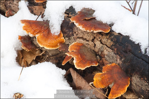 Wood Mushrooms in the Snow (#095)