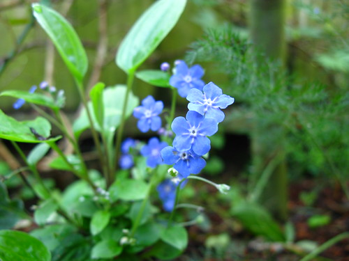 Omphalodes cappadocica can't spread fast enough.