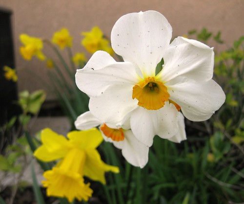 Salome Narcissus - Daffodil  ~نرجس