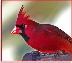 Male Cardinal In Full Breeding Color (billkominsky ) Tags: red bird nature birds cardinal wildlife wetlands supershot greencay avianexcellence excellenceinavianphotography citrit goldstaraward yagottastartsomewhere flickrglobal