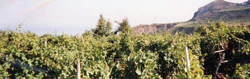 vineyards1