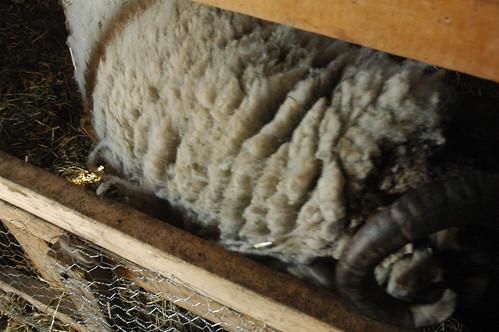 Frankie pre-shearing