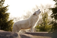 reveille (conwest_john) Tags: polarbears arcticwolves specanimal mywinners platinumphoto theunforgettablepictures dragondaggerphoto thebestofmimamorsgroups magicunicornverybest